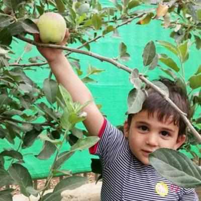 קטיפת תפוחים במעון3